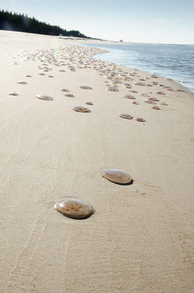 Tysiące bezradnych meduz, złapanych w pułapkę cofającej się wody i ostrego słońca / fot. M.N.