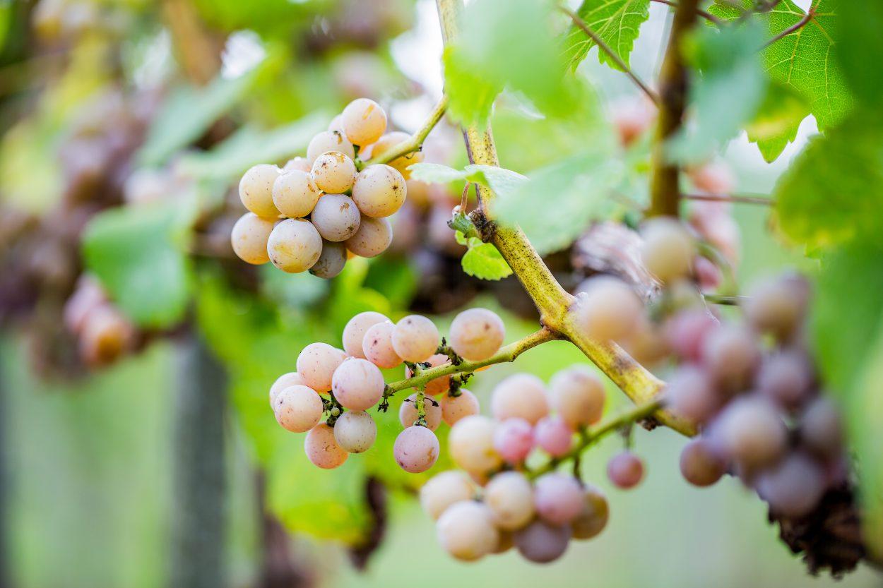 Pinos gris, czyli jeden z podstawowych szczepów winorośli stosowanych w lubuskich winnicach - Lubuski szlak wina